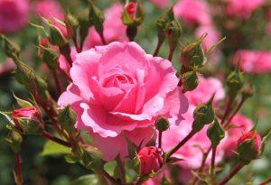 szkółka róż - Kraków - zdrowe sadzonki róż